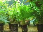 Milyen növényeket tegyünk akváriumba? Élõt vagy mûanyagot? részlet