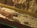 Hogyan tartsunk leopárdgekkót? részlet