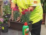 Hogyan ültessünk ki ládába virágot?