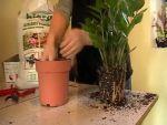 Virág átültetés: Zamia pálma megmentése pillanatkép